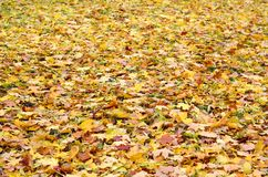 A large number of fallen and yellowed autumn leaves on the ground. Autumn background textur. E royalty free stock photo
