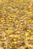 A large number of fallen and yellowed autumn leaves on the ground. Autumn background textur. E royalty free stock images
