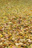 A large number of fallen and yellowed autumn leaves on the ground. Autumn background textur. E royalty free stock photos