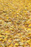 A large number of fallen and yellowed autumn leaves on the ground. Autumn background textur. E royalty free stock image