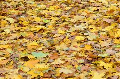 A large number of fallen and yellowed autumn leaves on the ground. Autumn background textur. E royalty free stock photography