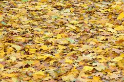 A large number of fallen and yellowed autumn leaves on the ground. Autumn background textur. E stock photos