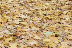 A large number of fallen and yellowed autumn leaves on the ground. Autumn background texture royalty free stock photography