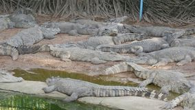 Large number of large crocodiles rest on the shore of the lake stock footage