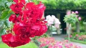 A large number of red roses hanging from the bush. A large number of red roses hanging from the bush stock video footage
