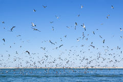 A large number of seagulls flying over the sea surface. Royalty Free Stock Photo