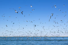 A large number of seagulls flying over the sea surface. Royalty Free Stock Photos