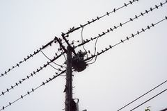 A large number of small birds perching on electric cables in. Tokyo, Japan stock image