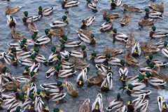 Large number of wild ducks near the shore in early winter. Natural texture stock photos