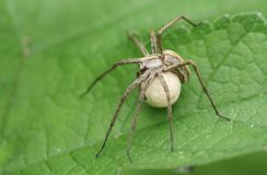 A large Nursery Web Spider Pisaura mirabilis carrying its egg sack under its body perching on a leaf. stock images