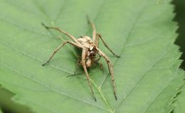 A large Nursery Web Spider Pisaura mirabilis eating its prey whilst perching on a leaf. royalty free stock photos