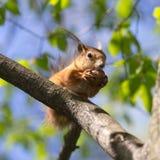 Large nut Royalty Free Stock Photo