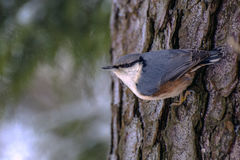 Large nuthatch on the trunk of thick pine Royalty Free Stock Image