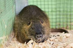 Large nutria lying on wood sawdust. For any purpose royalty free stock photography