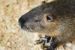 A large nutria sits on a wooden sawdust. For any purpose stock photo