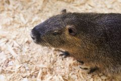 A large nutria sits on a wooden sawdust. For any purpose stock image
