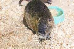 A large nutria sits on a wooden sawdust. For any purpose royalty free stock photo