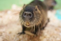 A large nutria sits on a wooden sawdust. For any purpose stock photography