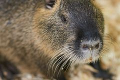 A large nutria sits on a wooden sawdust. For any purpose royalty free stock image