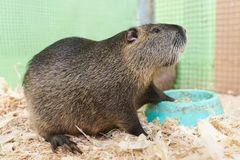 A large nutria sits on a wooden sawdust near the trough. For any purpose royalty free stock images