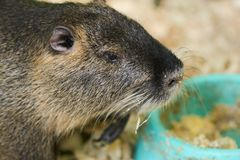A large nutria sits on a wooden sawdust near the trough. For any purpose stock images
