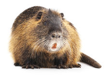 Large nutria. Large nutria on a white background royalty free stock images