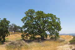 Large Oak Crowns Hilltop Royalty Free Stock Images