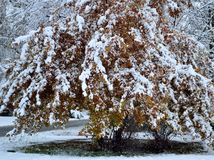 Large oak shrub red gold leaves covered in fresh snow royalty free stock photos