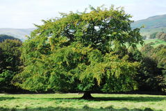 A large oak tree. A arge oak tree in the countryside Stock Images