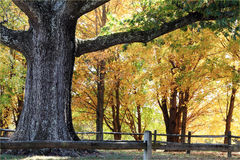 Large Oak Tree. Trunk and branches of a very large oak tree surrounded by beautiful autumn colors Stock Photos