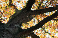 Large oak tree with autumn leaves Stock Photography