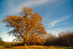 Large Oak Tree In Autumn. A large oak tree pictured on clear autumn afternoon with a landscape of a treeline and fallen golden leaves with blue skies with fluffy Stock Photo