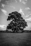 Large Oak Tree Black and White Stock Photo