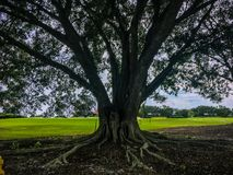 large oak tree on the golf course stock photo