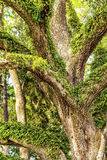 Large Oak Tree Royalty Free Stock Image