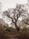 Large oak tree in forest woodland spring autumn bare no leaves d. Ay; essex; england; uk Stock Image