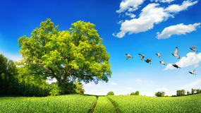 Large oak tree on a green field Stock Image