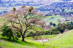 Large oak tree growing on the hills. Of Coyote Lake Harvey Bear Ranch County Park, south valley and Gilroy in the background, south San Francisco bay royalty free stock photos