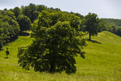 large oak tree Stock Photos