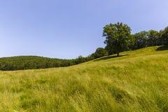 Large oak tree Stock Images