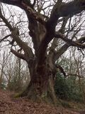 Large oak tree inside forest spring bare overcast day tall trunk. Essex; england; uk Stock Images
