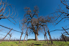 Large oak tree in the middle of wine grape field. Grape vines in the fall with oak tree in the field Stock Photography