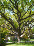 Large Oak tree Royalty Free Stock Photos
