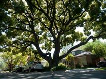 Large Oak tree. In an older neighborhood Stock Image