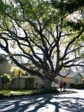 Large Oak tree Stock Photography
