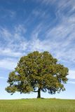 Large Oak Tree with Pretty Blue Sky Stock Photos