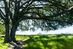Large oak tree providing shade, Sunol Regional Wilderness, San Francisco bay area, California royalty free stock image