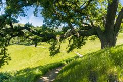 Large oak tree providing shade, Sunol Regional Wilderness, San Francisco bay area, California royalty free stock images