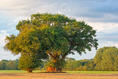 Large Oak Tree On A Summers Evening. A large oak tree pictured on a golden summers evening. The tree has a hut or storage space built around its trunk Stock Image