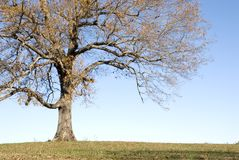 Large Oak Tree on Sunny Day Royalty Free Stock Photography